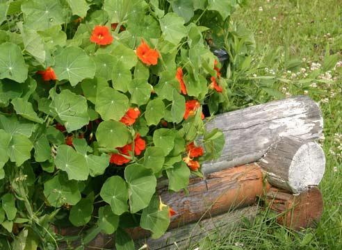 Посадка настурции садовой