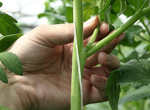 Как прищипывать помидоры