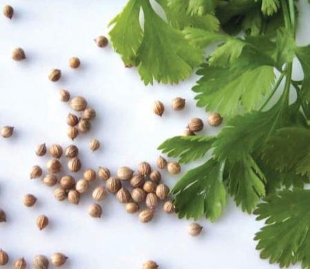 Семена кориандра (слева) и зелень кинзы (справа)