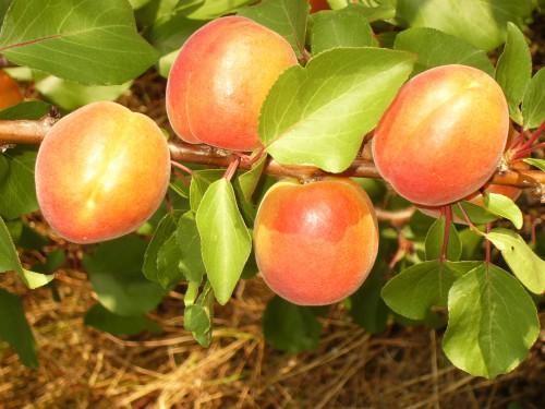 Абрикос обыкновенный - кладезь целебных свойств