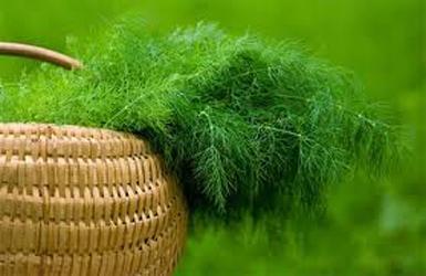 Выращивание укропа и петрушки на участке и подоконнике