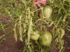 Фитофтора на помидорах -  враг номер один
