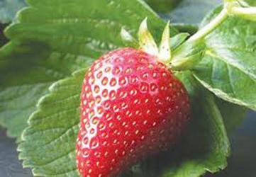 Любимая ягодка. Полезные свойства клубники
