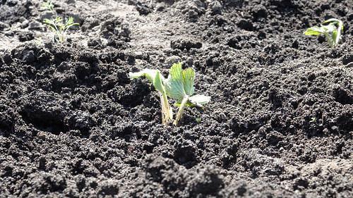 Чем обработать клубнику перед посадкой весной