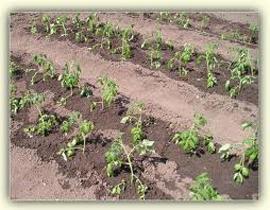 Высадка рассады томатов в грунт: что нужно знать