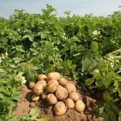 Чем отличается выращивание раннего картофеля от других сортов