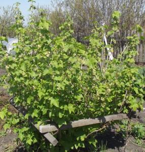 Правильная обработка смородины весной - щедрый  урожай летом
