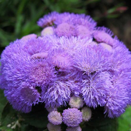 Агератум хоустона - пушистые чудо - цветы