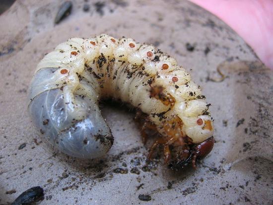 Как избавиться от личинок майского жука в почве?!