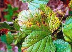 болезни смородины