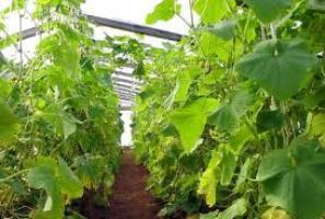 Выращивание огурцов в теплицах на видео