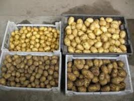 Как выбрать посадочный картофель?