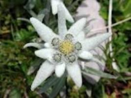 Цветок эдельвейс на фото