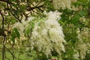 Ясень дерево