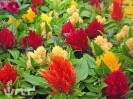 Выращивание целозии из семян