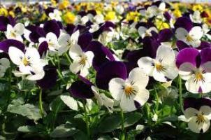 Посев виолы на рассаду