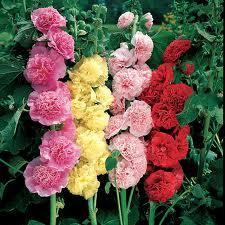 Выращивание розы шток