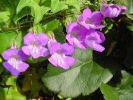 Выращивание азарины лазающей