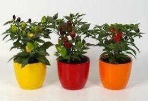 Выращивание перца декоративного