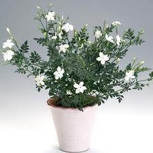 Жасмин - цветок комнатный