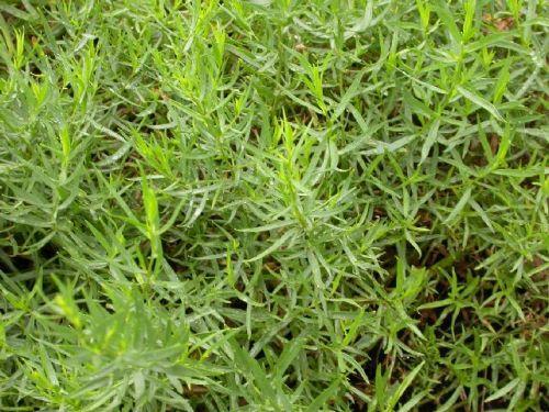 Выращивание тархуна (эстрагона)