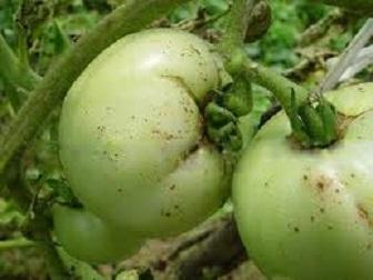 Болезни томатов на фото