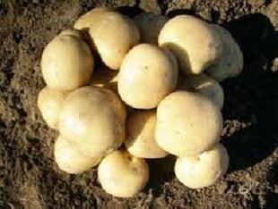 Сорт картофеля Елизавета