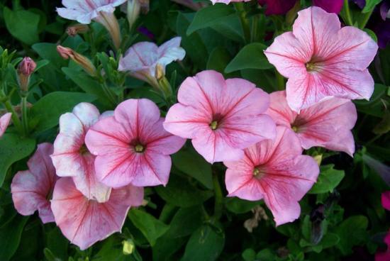 Секреты выращивания петунии