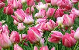 Посадка и уход за тюльпанами