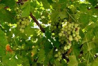 Весенняя обработка винограда