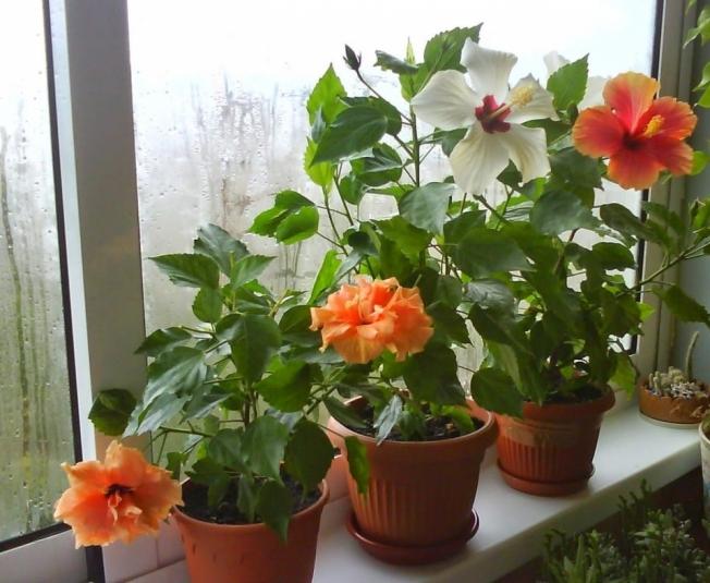 Выращивание гибискуса в комнатных условиях