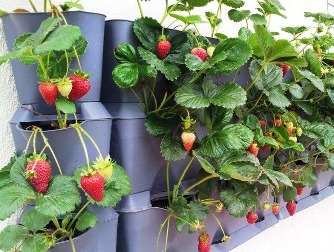 Выращивать землянику на балконе