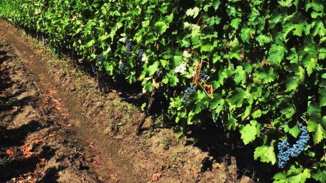 Виноград каберне совиньон посадка и уход