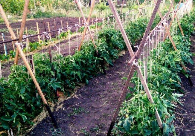 Как правильно сажать помидоры