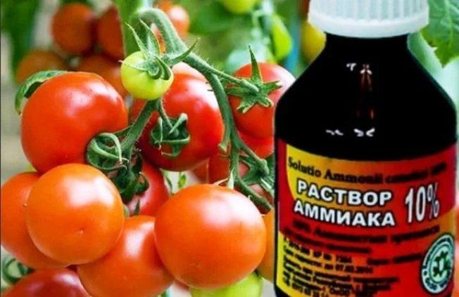 Нашатырь для удоьрения томатов