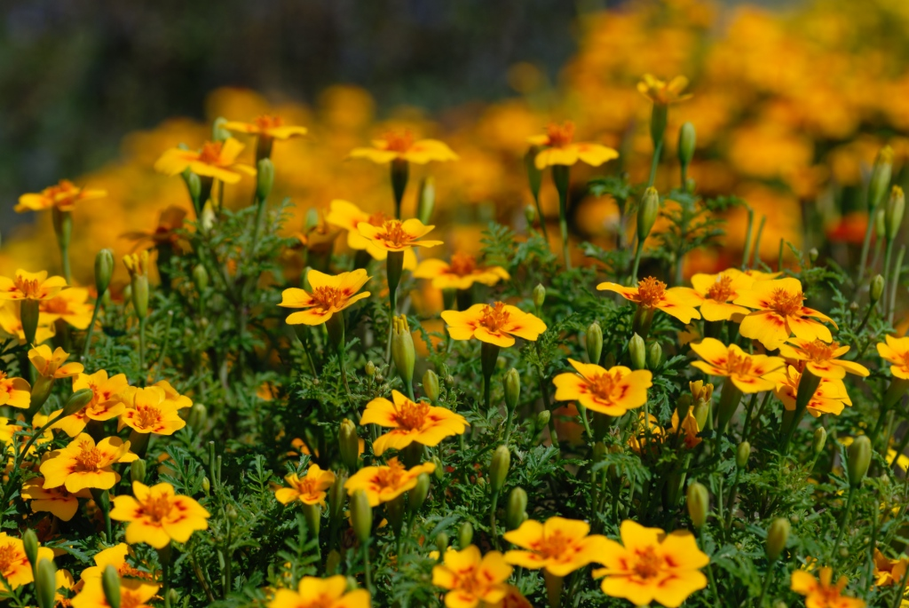 Цветы бархатцы картинки 4