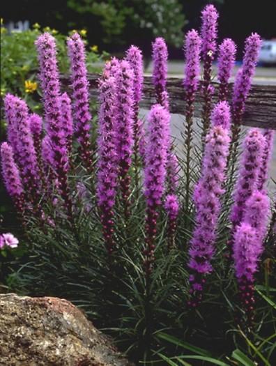 Цветок лиатрис многолетник