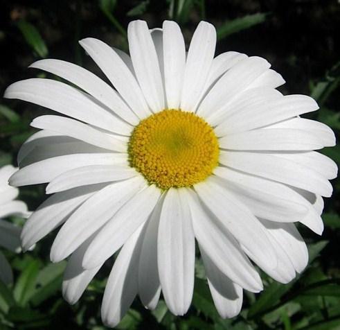 Цветы как ромашки большие