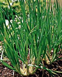 Выращивание семейного лука, крупный семейный лук, резка 91