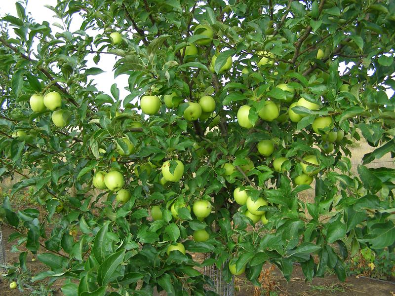 яблоня голден фото описание