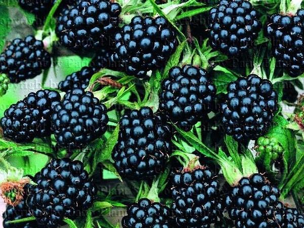 Чем сорта садовой ежевики от малины