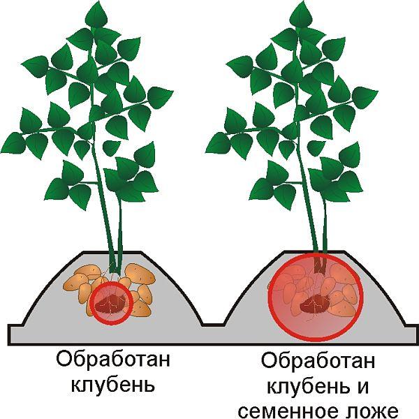 Что глубина посадки картофеля