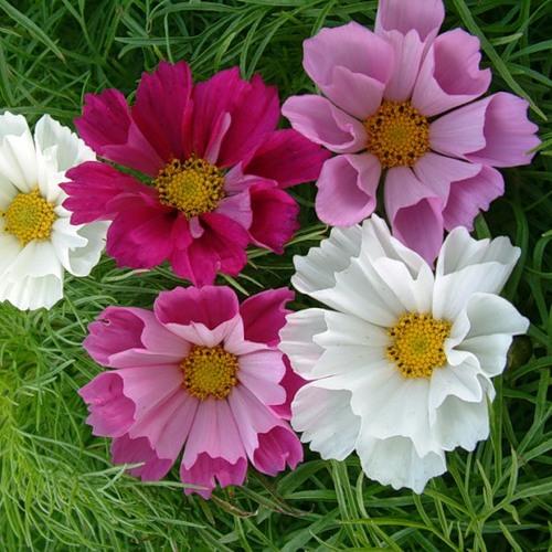Космея цветы описание и 90