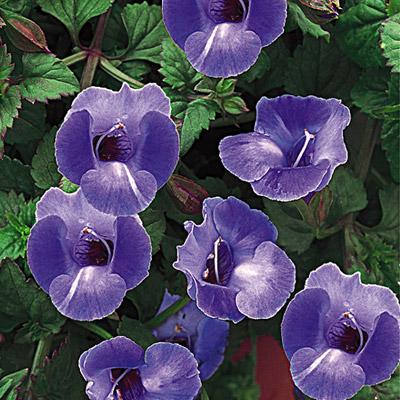 Торения цветок фото