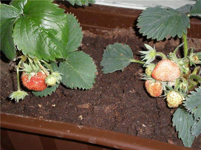 Как вырастить клубнику из семян в домашних условиях 41