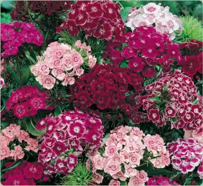 Турецкие гвоздики цветы 37