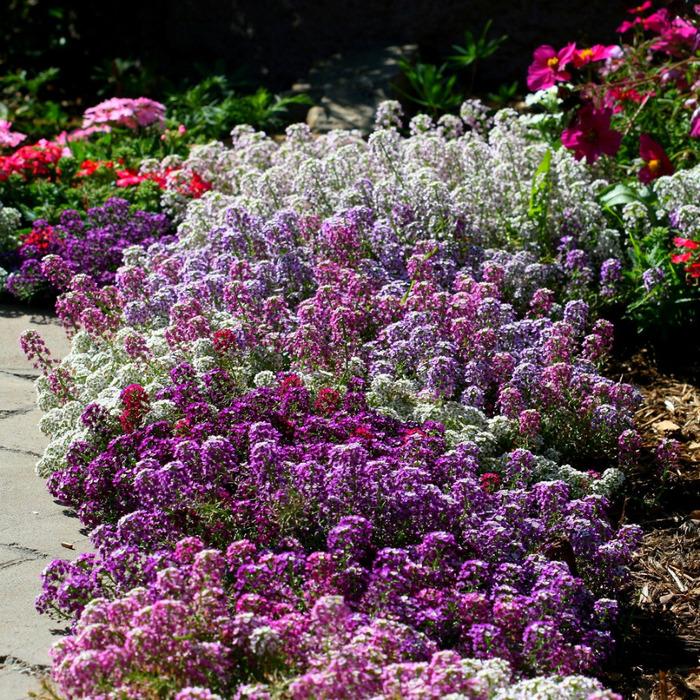Пахнут ли цветок алиссум