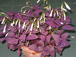 Цветы кислица фото
