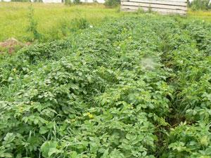 Какие выбрать сидераты под картофель