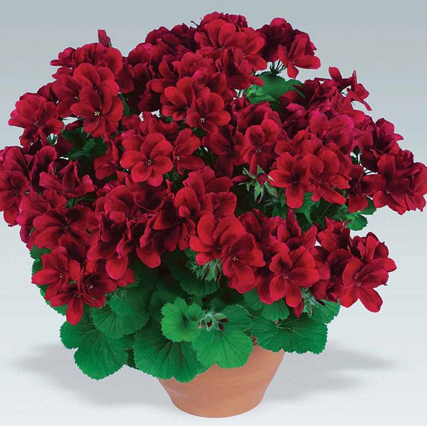 цветы фото пеларгония: